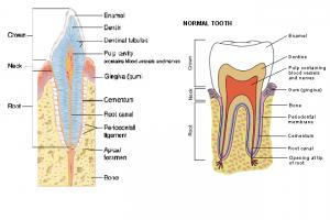 teeth age